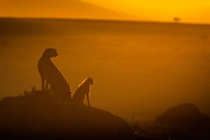 Cheetahs (John Haskew) (2).jpg
