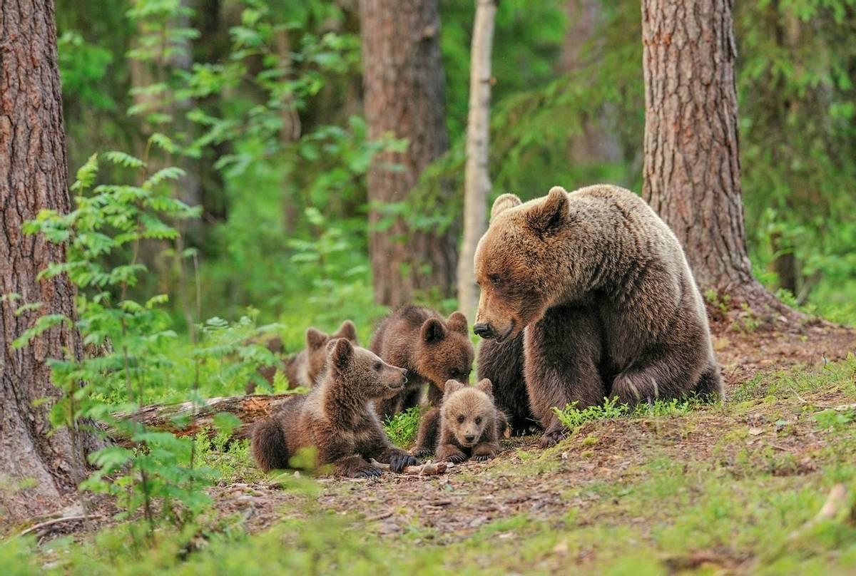 Brown Bears Finland (Erik Mandre Shutterstock 198189008)