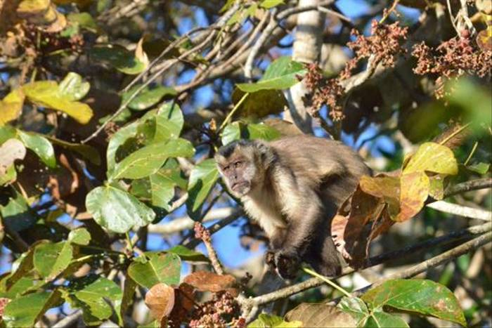 Black-striped-tufted Capuchin (Ian Bruce)