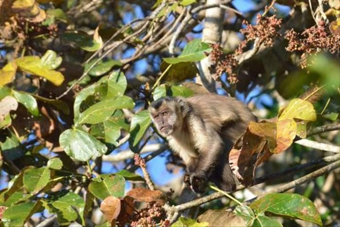 Black-striped-tufted Capuchin (Ian Bruce)