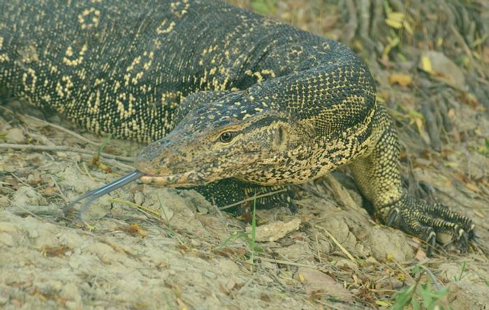 Water Monitor (Pradeep Singh, Sunderban Extension)