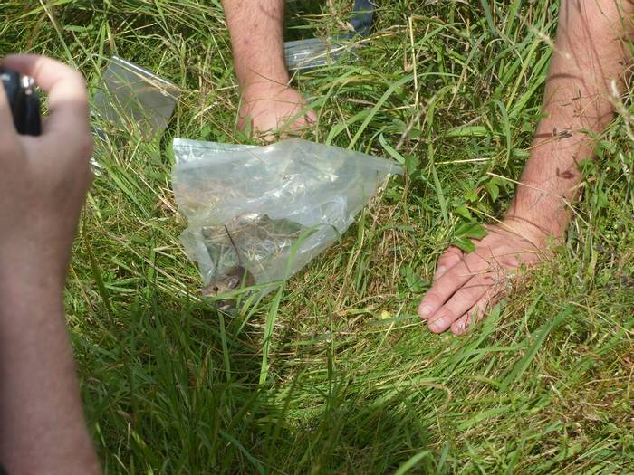 Releasing a Wood Mouse