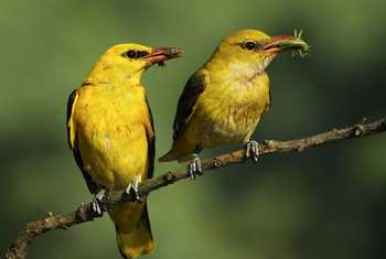 Golden Oriole