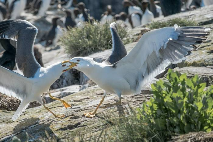 Herring Gulls (Susan Dillon).jpg
