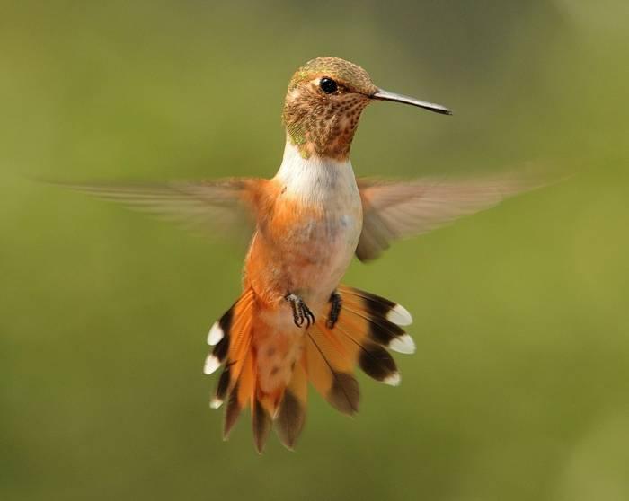 Rufous Hummingbird, Arizona, North America.jpg