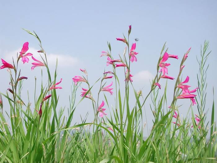 Gladiolus Italicus, Italy shutterstock_1257431212.jpg
