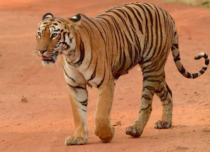 DSCTiger (Pradeep Singh)_6071