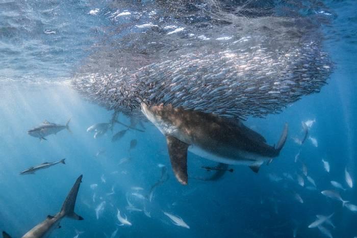 Shark (likely Bull) hunting near Ningaloo Reef, Australia shutterstock_1488699764 (1).jpg