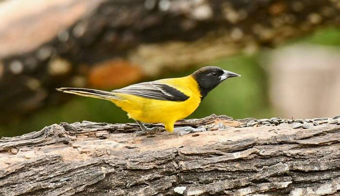 Audubon S Oriole (Choke Canyon SP)
