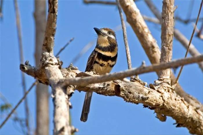 Russet-throated-Puffbird