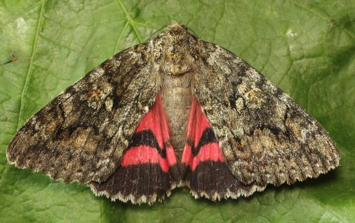 Catocala sponsa  - Dark Crimson Underwing Moth (Alan Outen)