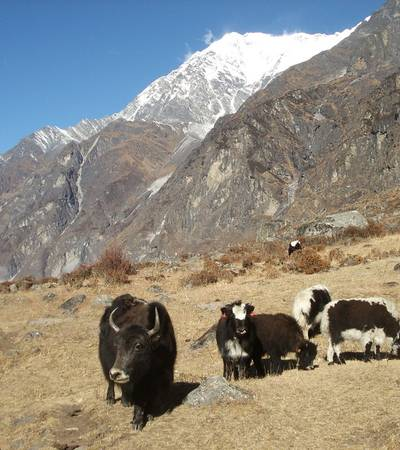 Yaks grazing in Langtang valley