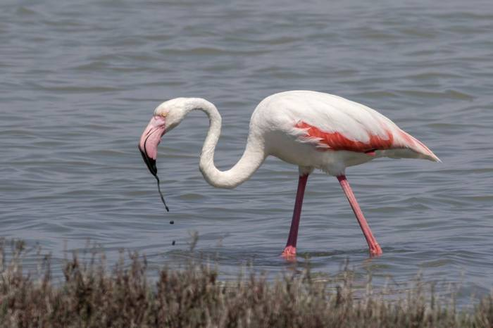 Greater Flamingo, Colin Brown