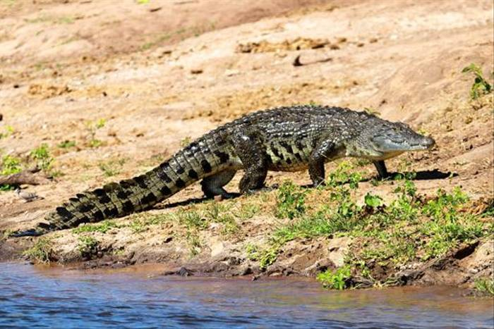 Nile Crocodile (Neil Macleod)