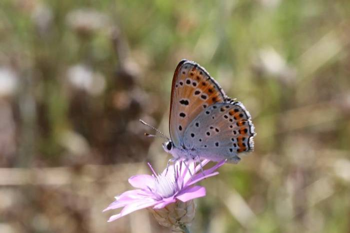 Purple-shot Copper Butterfly (Gerald Broddelez)