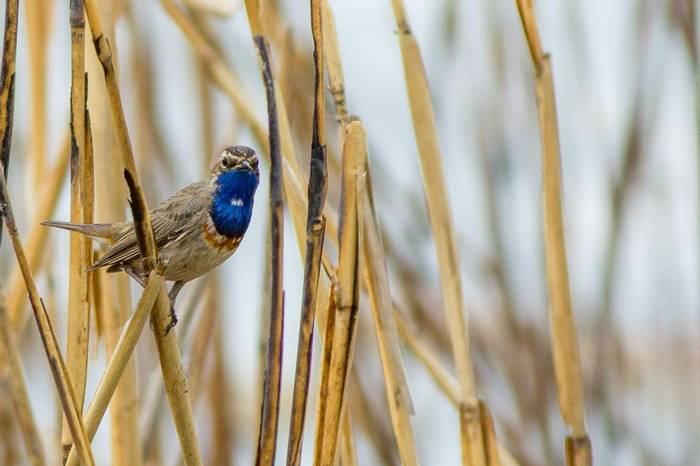 White-spotted Bluethroat (Luscinia svecica cyanecula) in reeds at fish ponds near Peschaniki