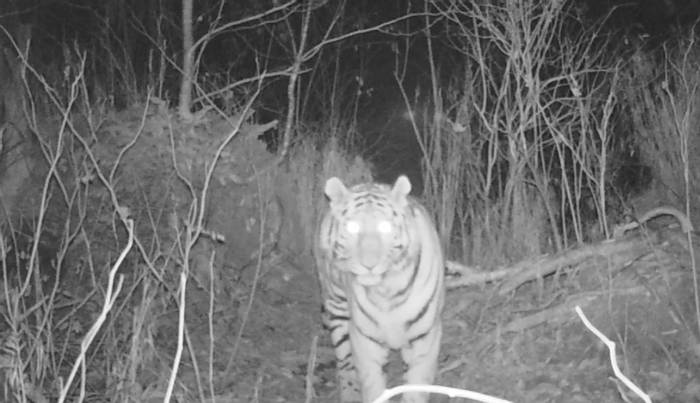 Siberian Tiger At Night, Durminskoye