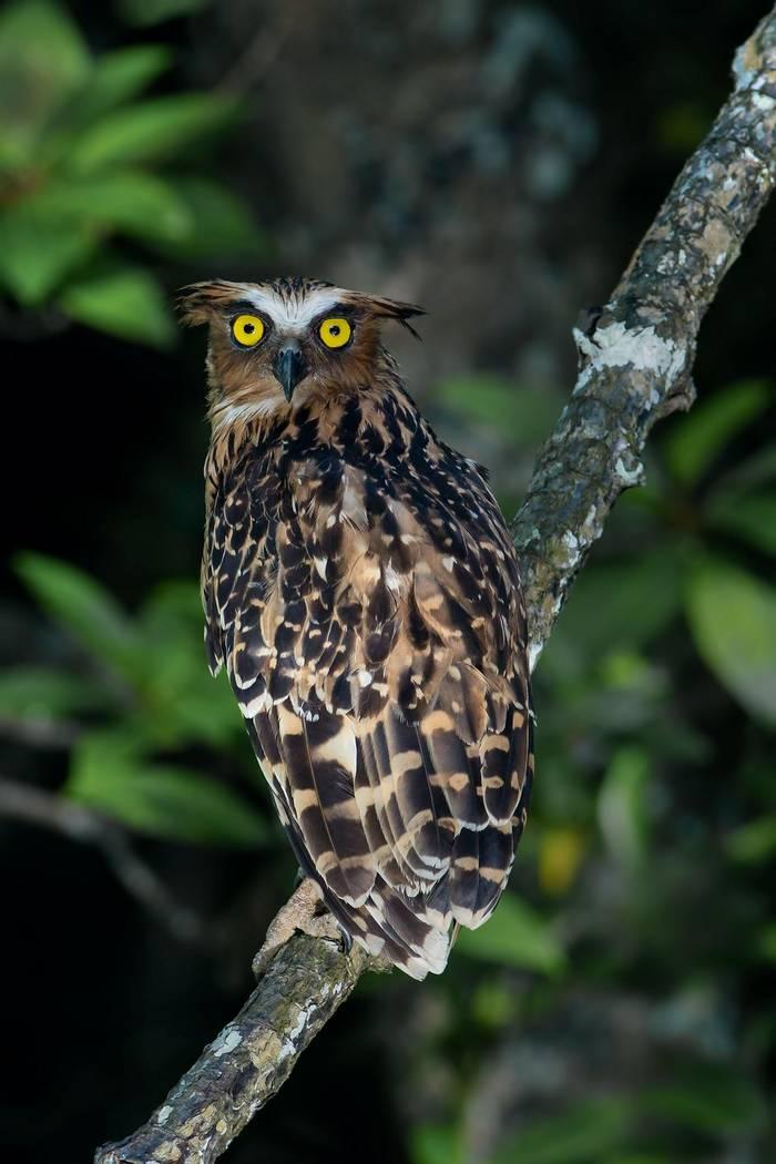 Buffy Fish Owl, Borneo shutterstock_1024033933.jpg
