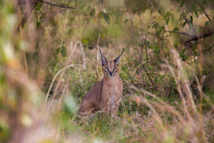 This young male Caracal was photographed in the Masai Mara, Kenya as he hunted for mice and small rodents. He moved silently…