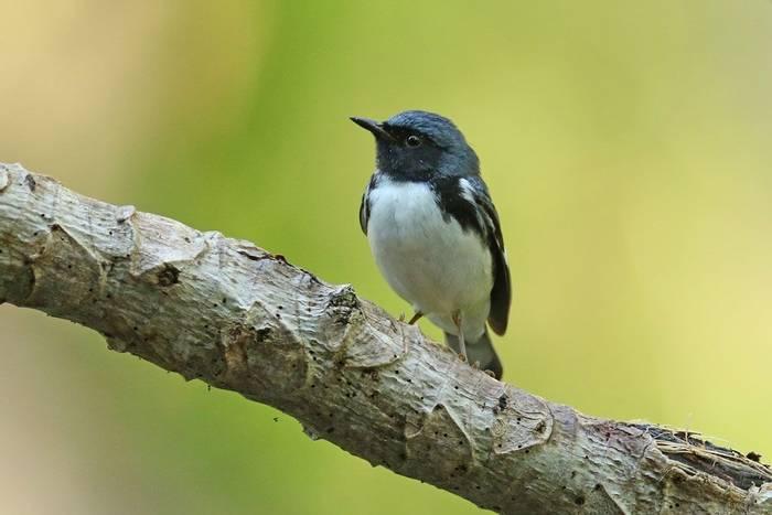 Black-throated Blue Warber (Roger Wasley)