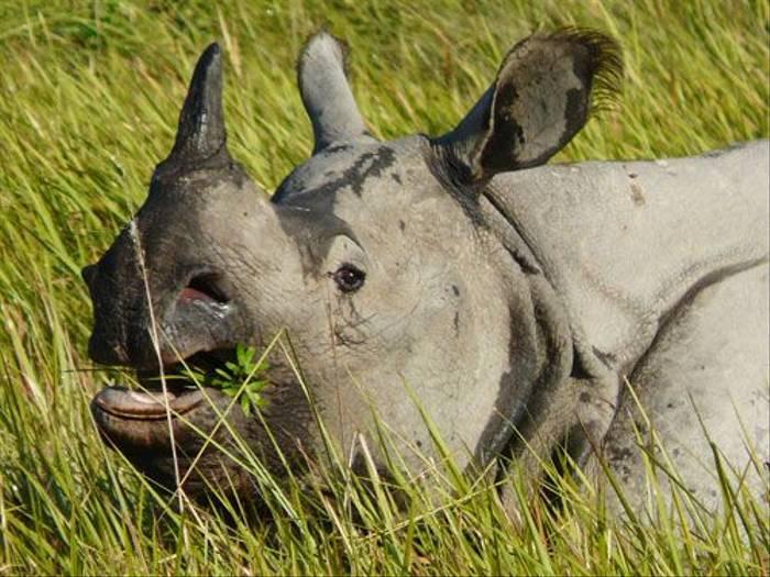 One-horned Rhinoceros (Michael Ball)