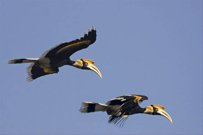 Giant Hornbills, Chitwan National Park (Cliff Garratt)