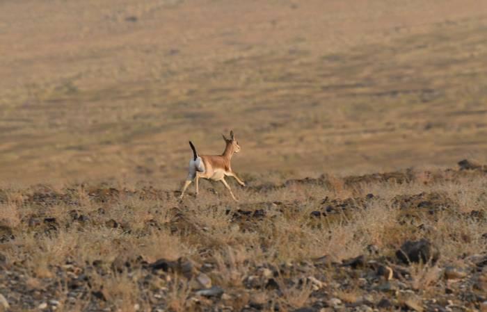Black-tailed Gazelle (Adam Dudley).jpg