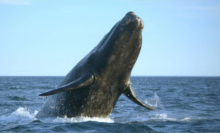 Southern Right Whale. Shutterstock 102894431