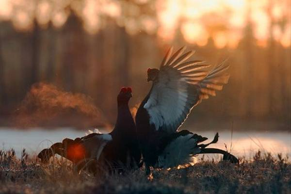 Black Grouse (Jari Peltomaki)