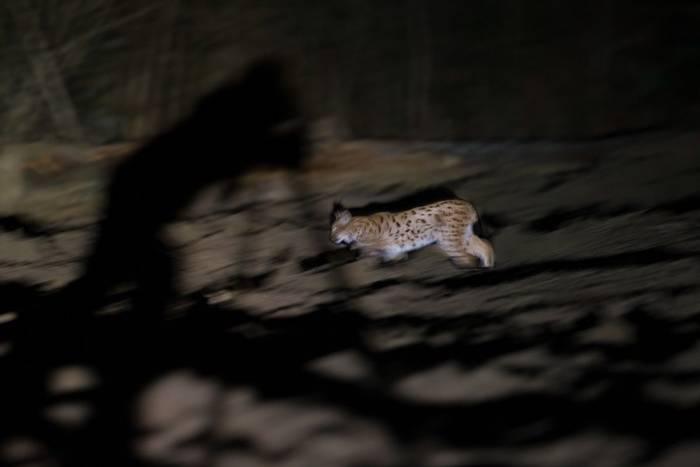 Eurasian Lynx (Pieter Jan D'Hondt)