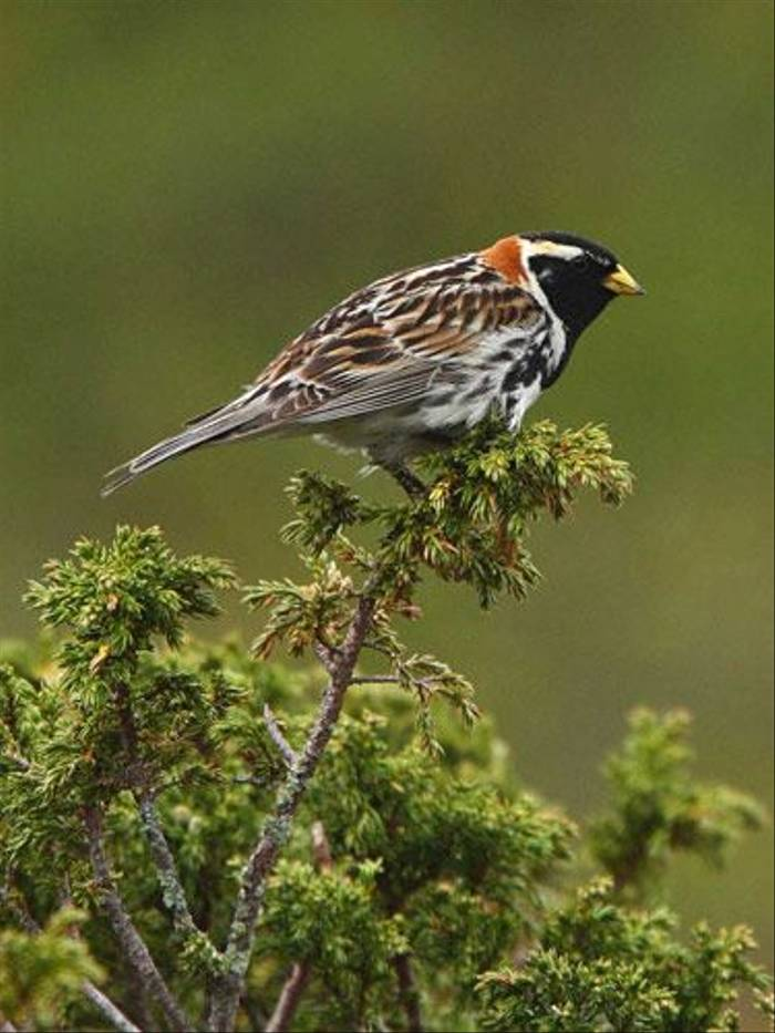 Lapland Bunting (Glyn Sellors)