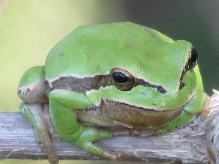 Tree frog, Aphrodite Beach orchard (Heather Osborne)
