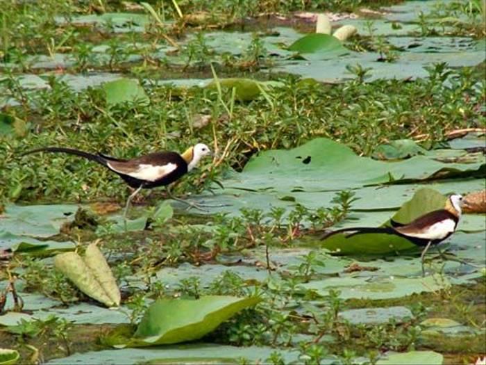 Pheasant-tailed Jacanas
