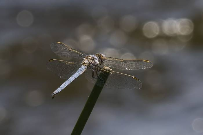 Yellow-veined Skimmer, Colin Brown