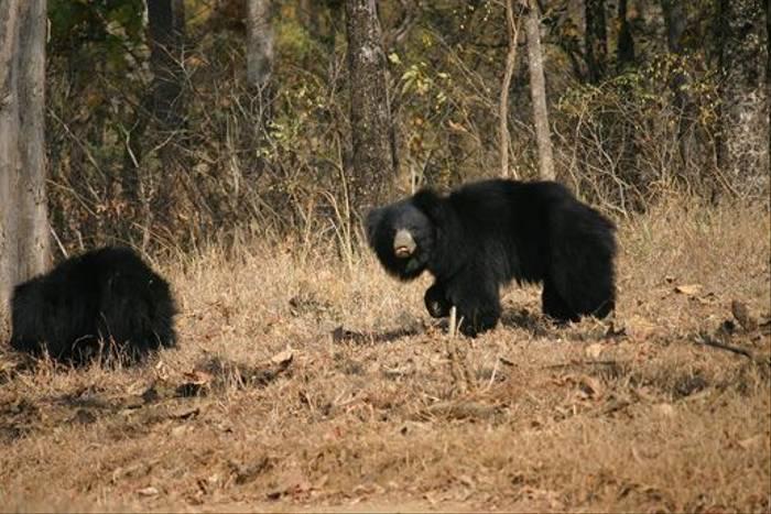 Sloth Bears (David Raju)