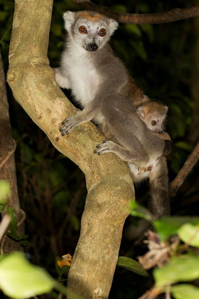 Crowned Lemur (Jonas Christiansen)