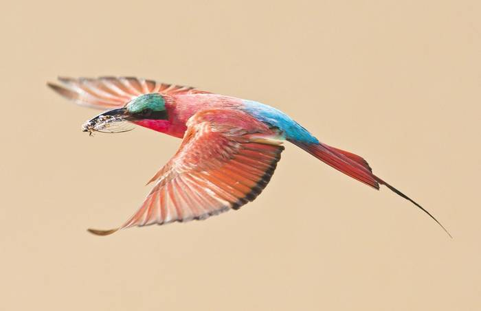 Southern Carmine Bee-eater Shutterstock 139468946