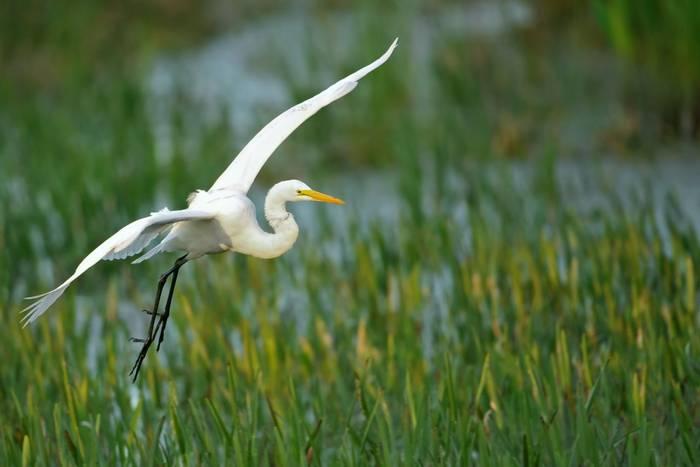 Great White Egret, Florida.jpg
