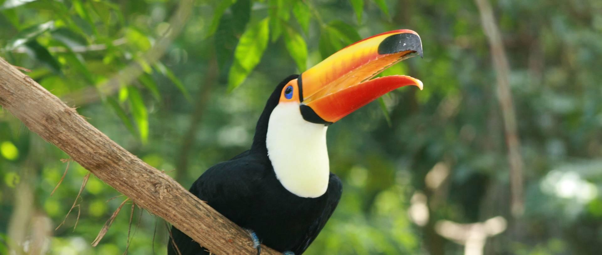 Toucan, Pantanal