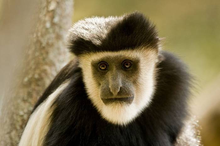 Colobus   Black And White 2