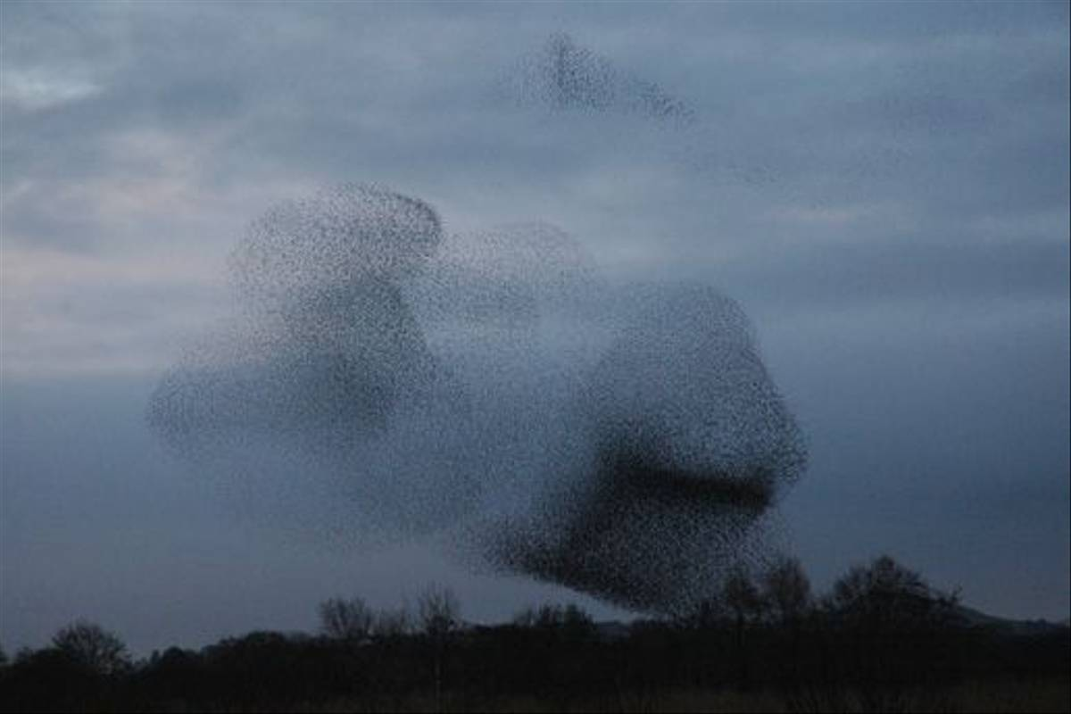 Starlings (Catherine Strong)