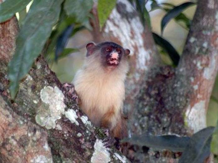Pantanal Marmoset (Gerald Broddelez)