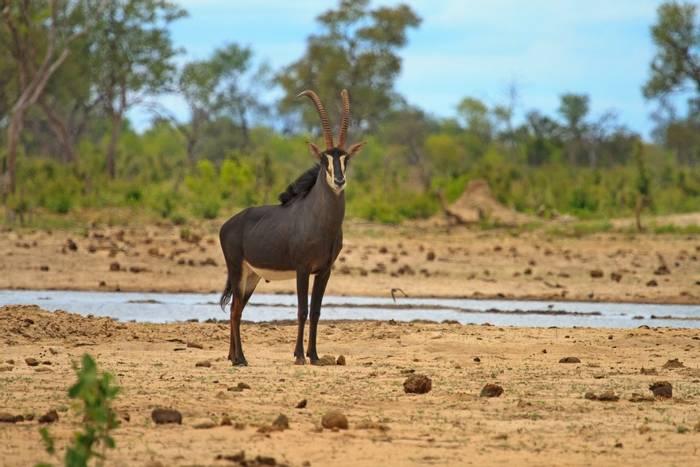 Sable Antelope, Zimbabwe shutterstock_166892984.jpg