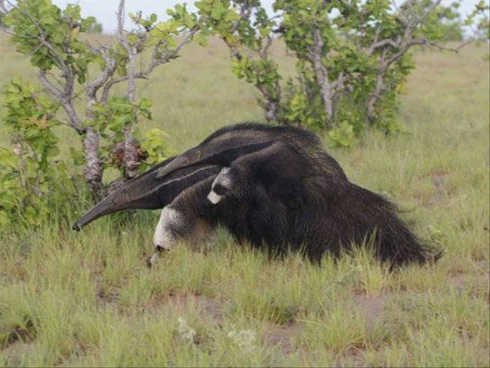Giant Anteater (Peter Price)