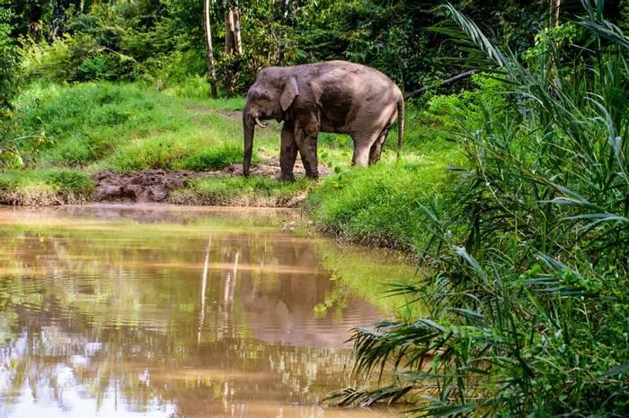 Borneo Pygmy Elephant (Trevor Platt)