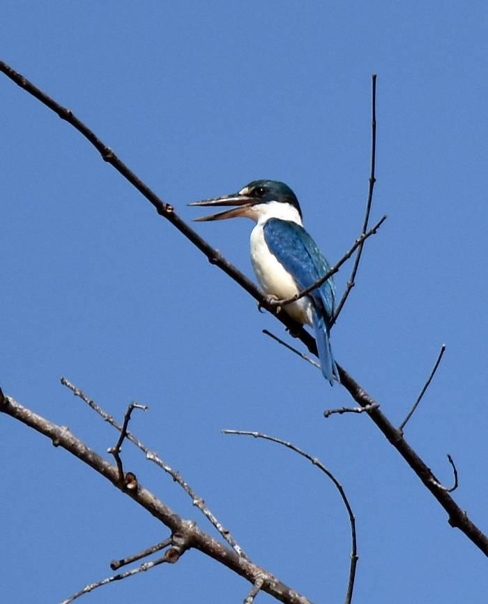 Collared Kingfisher (Lesley Hawkins)