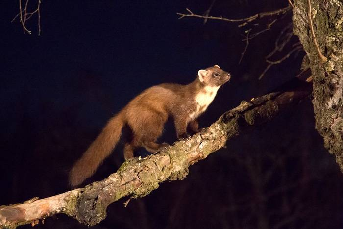 Pine Marten (© Robert Harvey)