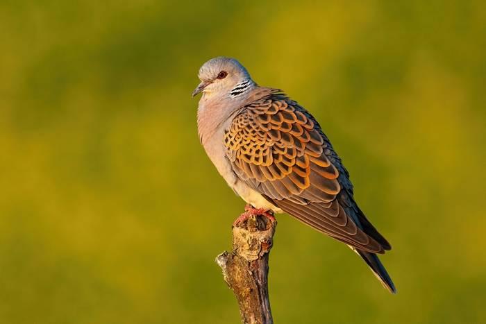 Turle Dove, UK shutterstock_1732075561.jpg