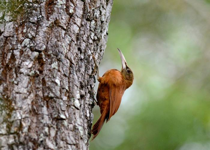 Great Rufous Woodcreeper (Stephen Woodham)