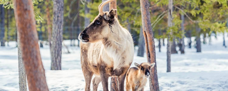 Torassieppi Reindeer (4 Of 6)